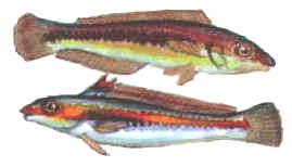 Rainbow Wrasse in Cyprus