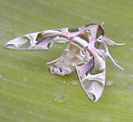 A moth which visited our banana plant - its camouflage is amazing. We seem to get his ancestor each year in about August or September
